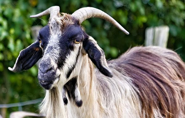 Seguros para ganado ovino caprino